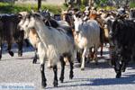 Geiten op Skyros | Skyros Griekenland foto 1 - Foto van De Griekse Gids