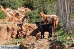 Geitjes bij Pefkos | Skyros Griekenland foto 2 - Foto van De Griekse Gids