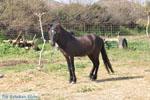 Dwergpaard Skyros | Griekenland foto 1 - Foto van De Griekse Gids