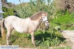 Dwergpaard Skyros | Griekenland foto 4 - Foto van De Griekse Gids